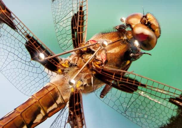 Composite image of dragonfly carrying retroreflective markers. The markers are used to measure the orientation of the dragonfly's head and body during flight. The data from the measurements allows the underlying steering strategy to be inferred. Credit: Igor Siwanowicz, Leonardo Lab, HHMI/Janelia Research Campus