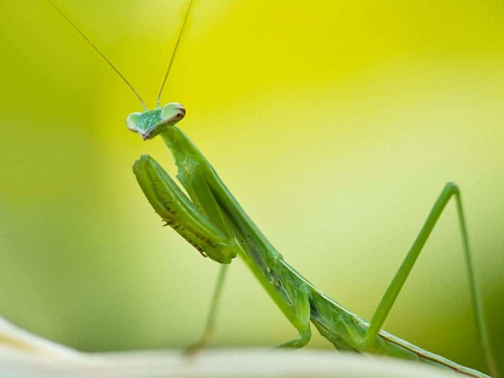 Female Mantises Eat Males Even Without Sex