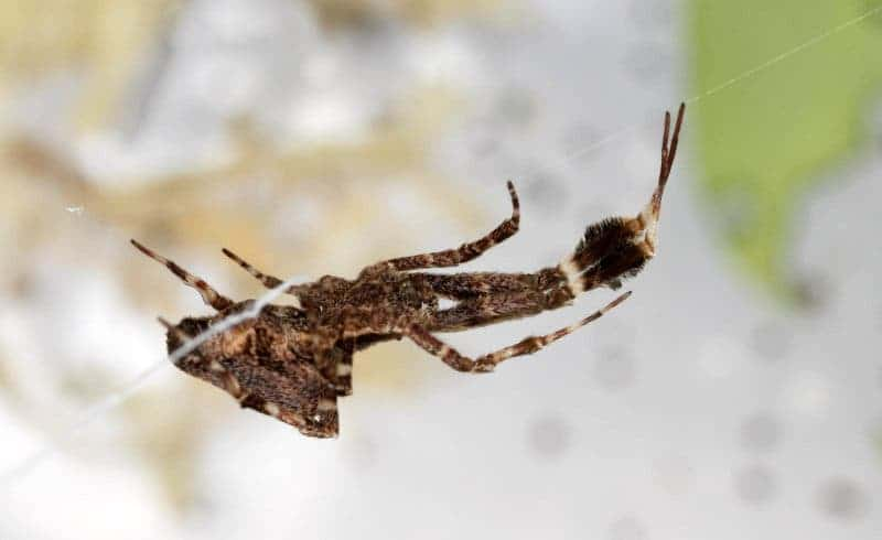Uloborus plumipes is a species of Old World cribellate spider in the family Uloboridae. Common names include the feather-legged lace weaver and the garden centre spider, the latter name being due to its frequent occurrence of this spider in garden centres on the world. Image: Snip View