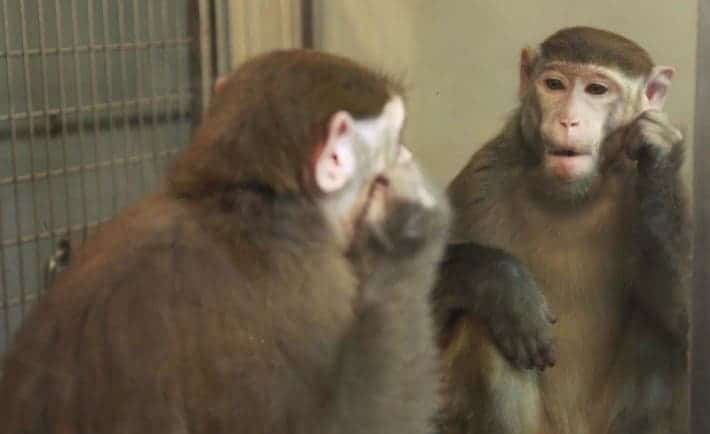 This shot shows a scene during the Chinese experiment designed to train monkeys to recognize themselves in the mirror and become aware. Credit: Neng Gong and colleagues/Current Biology 2015