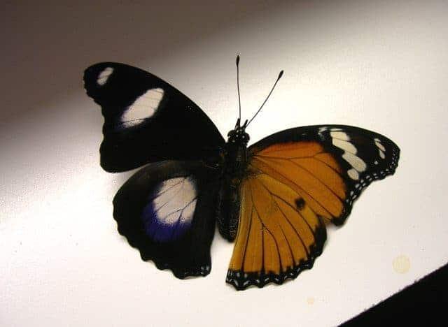 Statistics of sexual size dimorphism in butterflies
