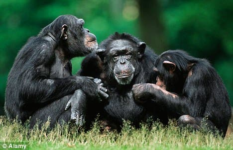 chimp language