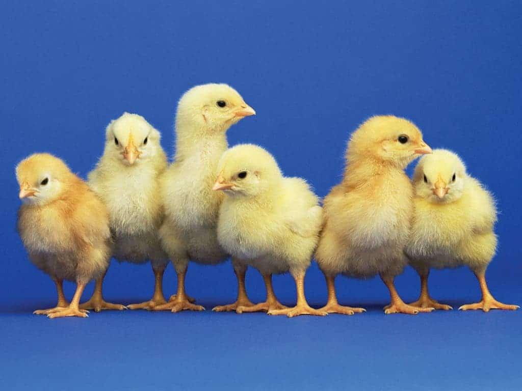 baby-chicks1