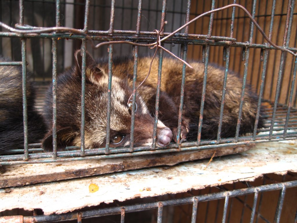 Civet in a cage - tens of thousands of civets live in extremely cruel conditions. Image via Wikipedia.