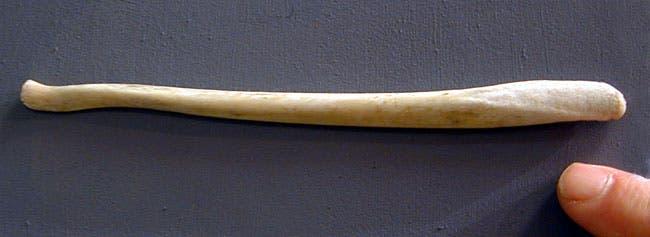 Polar bear baculum. Image: Marine Bio