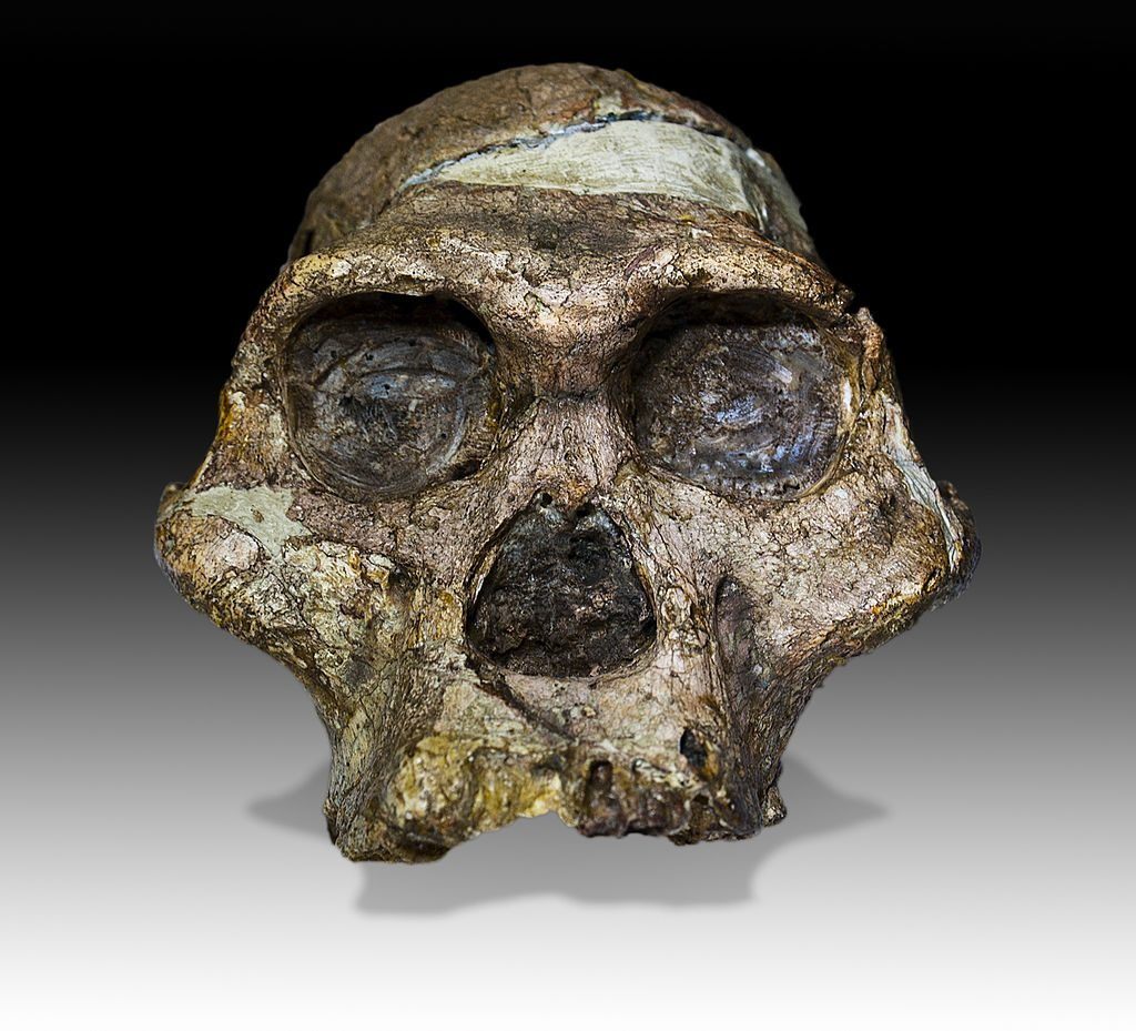 "The original skull (without upper teeth and mandible) of a 2,1 million years old Australopithecus africanus specimen so-called ""Mrs. Ples"" discovered in South Africa. Image: Archaeodontosaurus/Wikipedia (CC BY-SA 4.0)"