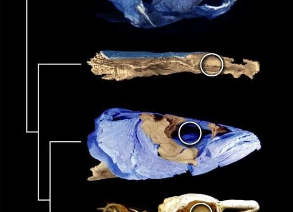 The 415-million-year-old fish Janusiscus provides evidence of a common bony and cartilaginous fish. Credit: SAM GILES, MATT FRIEDMAN, AND MARTIN BRAZEAU