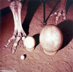 Size comparison of bird eggs. Left to right: chicken egg, ostrich egg, extinction Elephant bird egg.  The eggs of the extinct giant Elephant bird were the largest single-cells that ever existed on Earth -- as big as any dinosaur egg. Scientists believe the last of the Elephant birds went extinct fairly recently -- around 1700.
