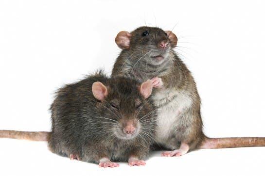 norwegian rat