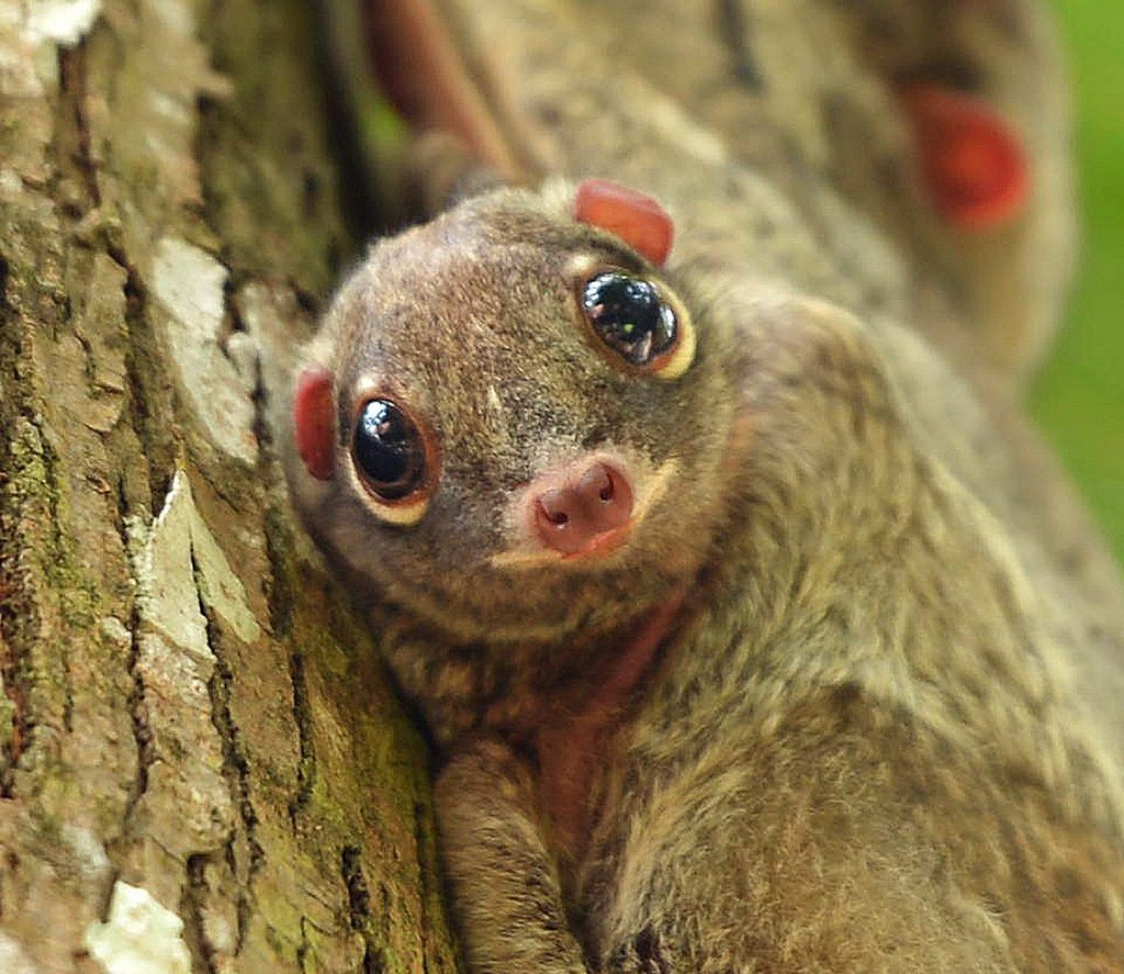 A colugo baby. Image: Flickr