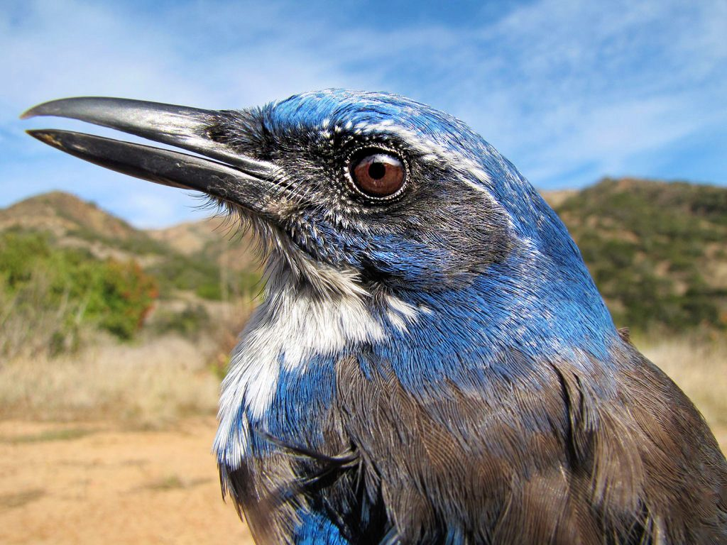 An acorn-eating island scrub jay. Photo: Katie Langin