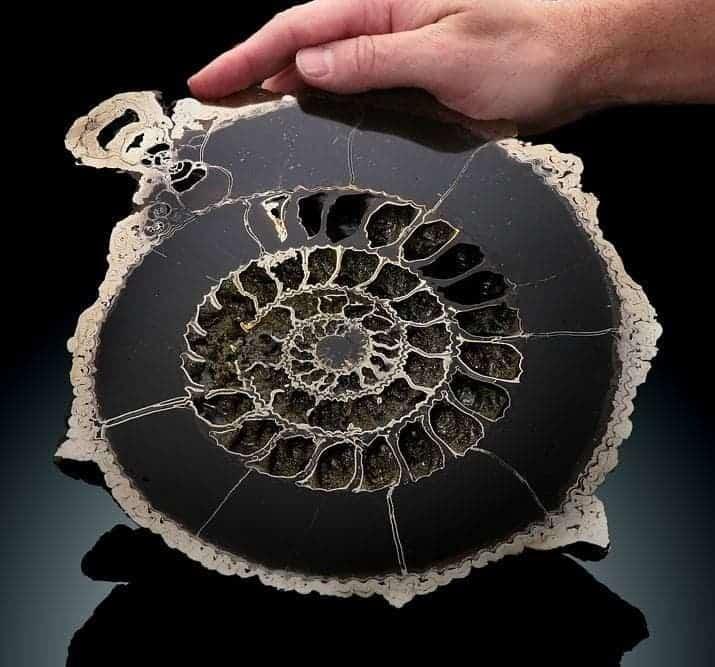 Fossilfriday Cut In Half Pyritized Ammonite