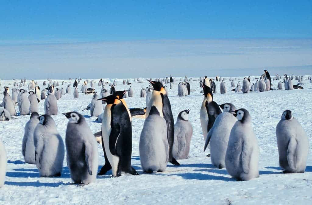 Too much of a good thing: Emperor penguins were almost killed of by ...