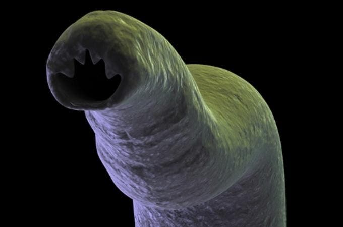 Hookworm is an intestinal parasite most commonly found in tropical and sub-tropical climates of Africa, Asia and Latin America.  Hookworm, one of three members of a family of parasites known as the soil-transmitted helminths (STHs), are half-inch long worms that attach themselves to the intestinal wall and feed on human blood. Image: Sabin Vaccine Institute