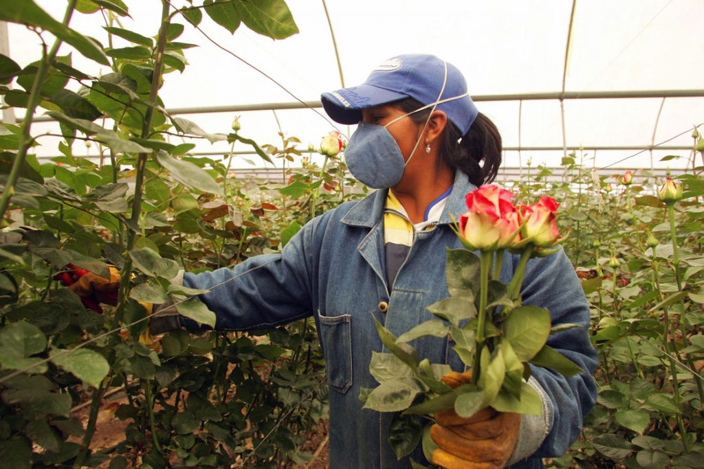 Ecuador's flower business employs about 50,000 people on about 550 farms across the country and is indirectly responsible for 110,000 jobs. The country ships $120 million in flowers in advance of Valentine's Day alone, experts say. Image: Getty