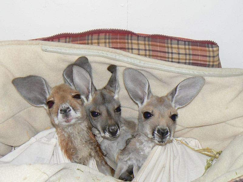 Theres A Sanctuary For Orphaned Kangaroos In Australia And Its - Kangaroo sanctuary alice springs