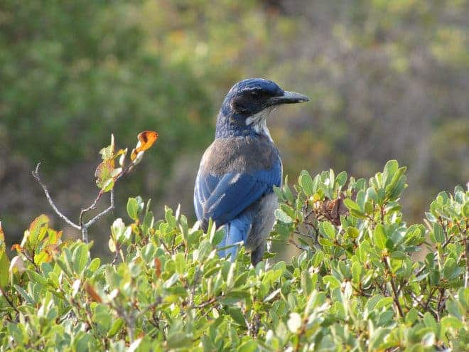 The oak variety jay. Photo: Katie Langin