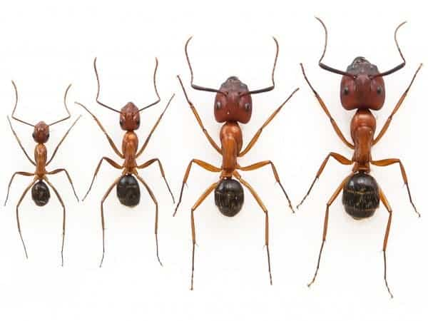 Florida carpenter ant workers: minors (left) and majors (right). Image: MELANIE COUTURE AND DOMINIC OUELLETTE