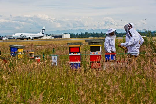 airport apiaries