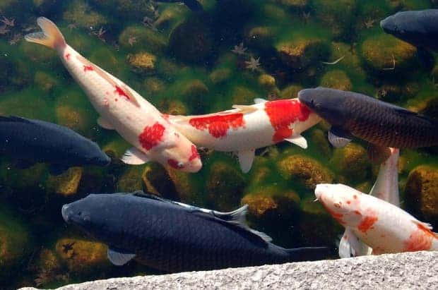 Invasive koi fish 3 000 feral fish dumped into colorado lake for Koi fish species