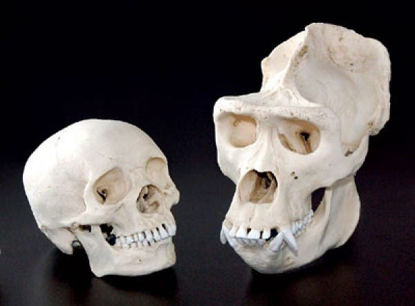 Human vs gorilla skull. One's adapted to house a larger brain, the other for brawl. Image: Smithsonian
