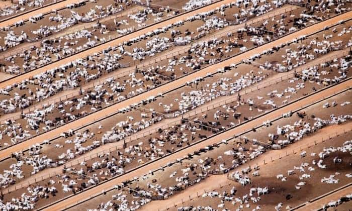 Industrial livestock production in Brazil. Photograph: Peter Beltra