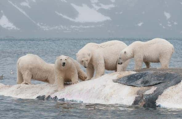 Ringed seals are the polar bear's primary food source--but a beached whale means a feast! © Daniel J. Cox/Natural Exposures