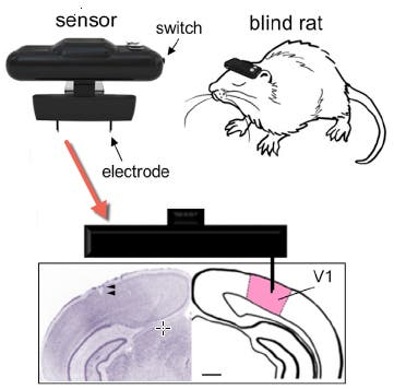 Geomagnetic sensor system, with connection to the primary visual cortex (adapted) (credit: Hiroaki Norimoto and Yuji Ikegaya/Current Biology)q