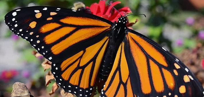 Photo credit: USFWS (Adult monarch butterfly by Tina Shaw/USFWS).
