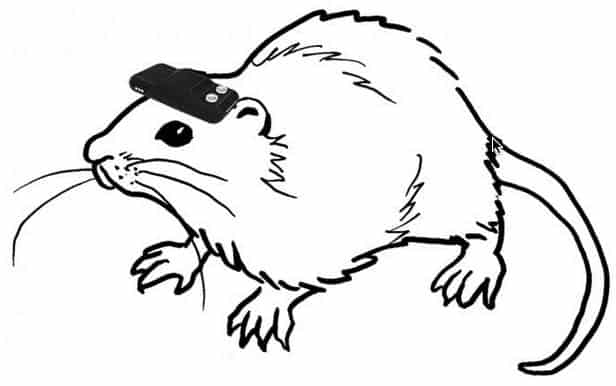 An illustration of a rat wearing the geomagnetic device (credit: Norimoto and Ikegaya)