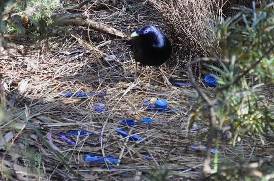 A male bowerbird catering to his blue love shack. Image: Wiki