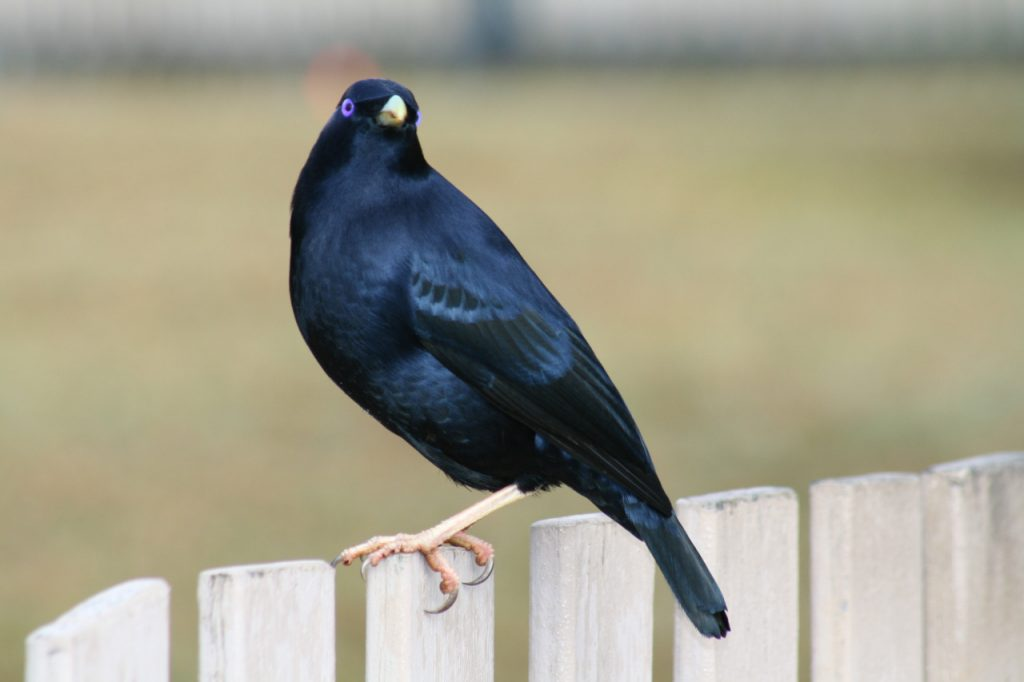 A male bowerbird, notice the piercing blue eyes and black plumage. Image: Wiki
