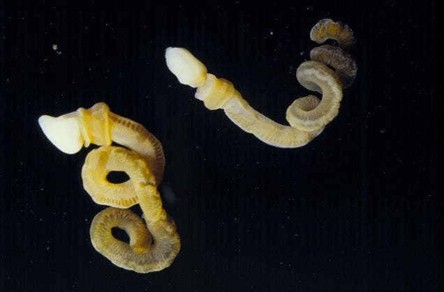 Above image: Two individuals of Harrimania planktophilus, a modern enteropneust (harrimaniid) worm. Photo: C.B. Cameron, Université de Montréal.