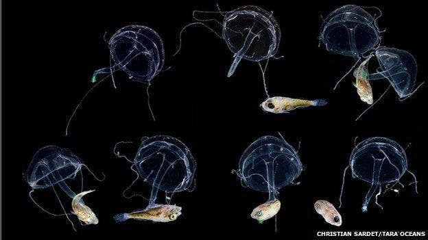 Fish larvae and jellyfish are also planktonic organisms.
