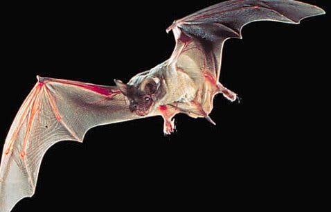 Birds are great flyers, but few can rival the tenacious bat which hunts the tiniest prays: insects.  Image: PIXGOOD