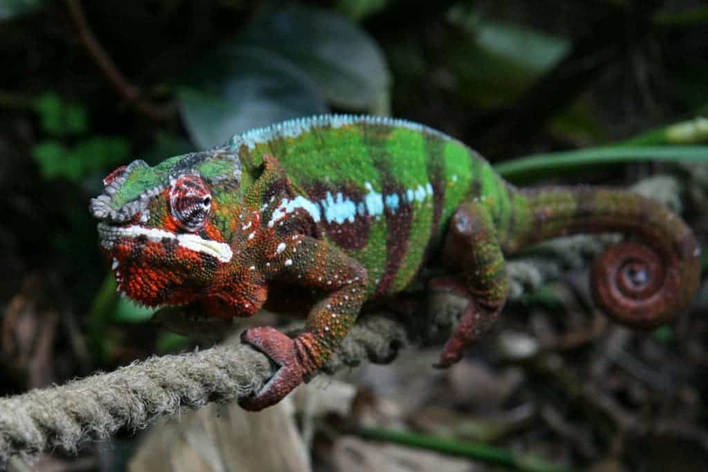Furcifer pardalis, a species of ninja chameleon. Image via Wikipedia.