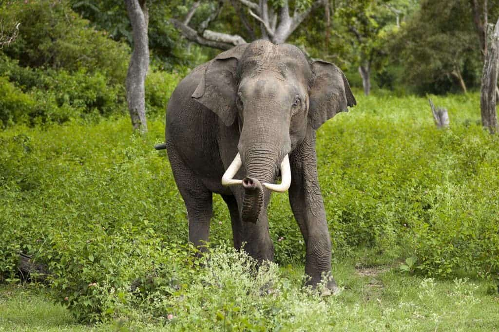 The Asian Elephant is critically endangered. Image via Wiki Commons.