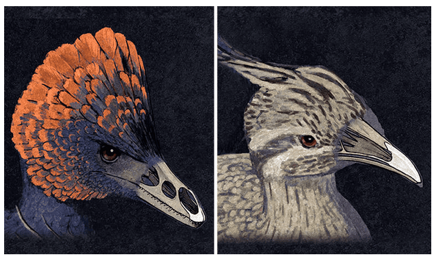 A side by side artist impression of beak development. On the left: Anchiornis, a non-avion dinosaur. On the right: the modern chicken. The beak and snout insides were shown to highlight the differences in bone structure between the two. A group of scientists claim they have made a chicken-dinosaur hybrid beak. Image: Bhart-Anjan S. Bhullar