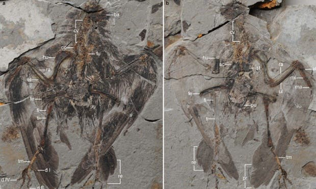 Partial skeletons of the most ancient avian ancestor of today's birds reveal a small feathered creature that may have lived in a semiaquatic environment. Image: Wang et al., Nature Communications