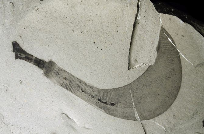 A fossil of a newly described penis worm species,  Ottoia tricuspida. Image credit: MARTIN SMITH
