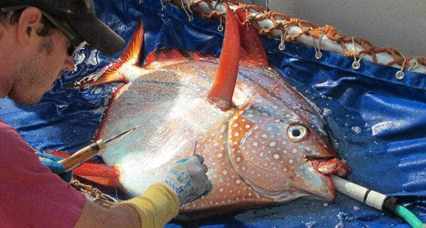The opah is as close to a full-body warm-blooded fish as science has yet discovered. Image: NOAA FISHERIES WEST COAST