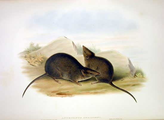 Antechinus swainsonii (formerly known as Antechinus swainsoni). Reproduction Photo by Marnie Rawlinson, Cathy Accurso and Ken Walker © Museum Victoria