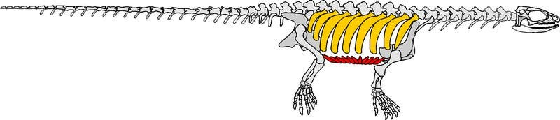 Pappochelys' skeleton. Highlighted: turtle-like rib arrangement and belly bones. Image: Rainer Schoch