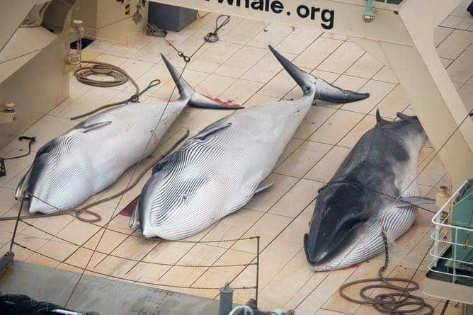 Japan doesn't stop at nothing and continues to kill whales for alleged scientific research. AAP Image/Supplied by Sea Shepherd Australia, Tim Watters