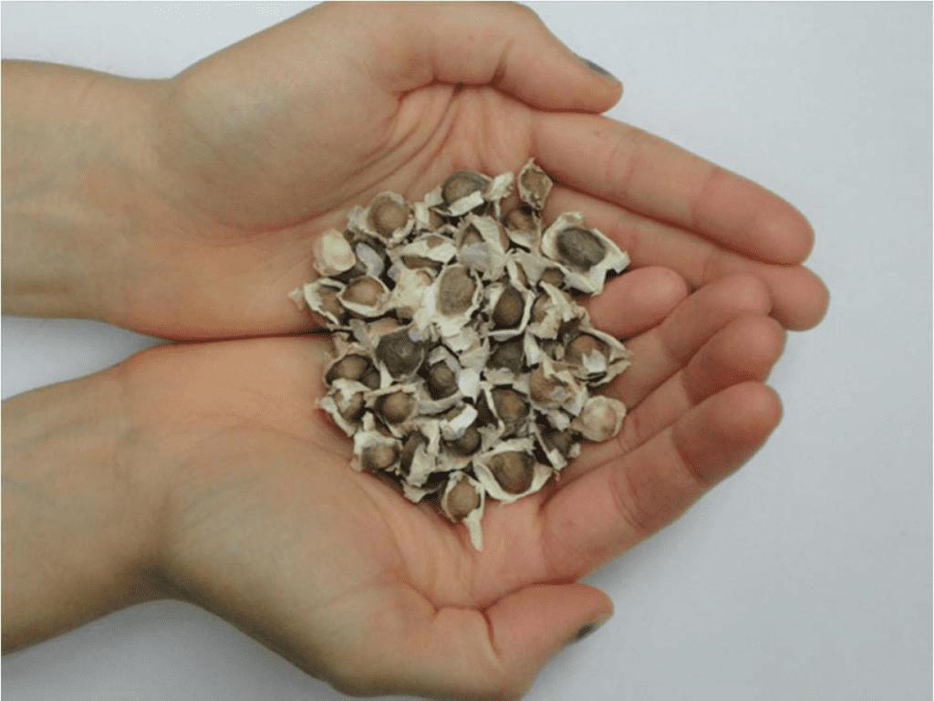 Moringa seeds. Image: Penn State