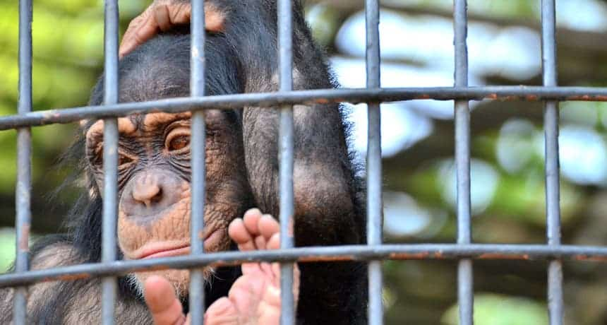 all chimps classed endangered