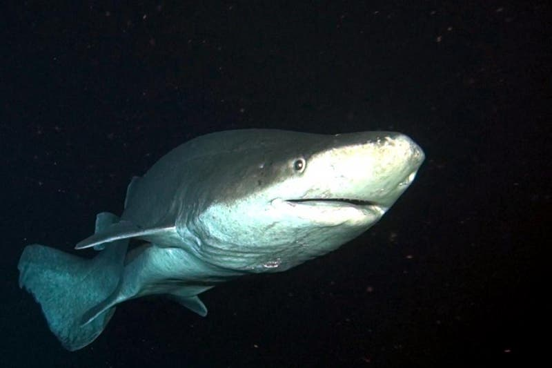 The prickly shark, Echinorhinus cookei, is a large predatory shark with a pan-Pacific distribution. Prickly sharks are amazing looking and have a traditional shark body type although they are a bit thicker around the middle than many other species. Photo: Wikipedia