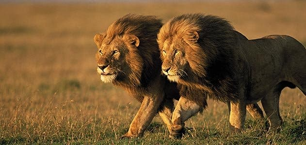Two males lions in Kenya. Photo: Smithsonian Mag