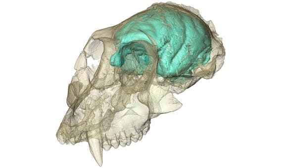 The brain scan of the monkey skull