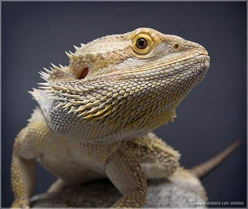 bearded-lizard